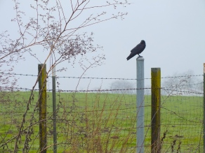 Crow keeping watch