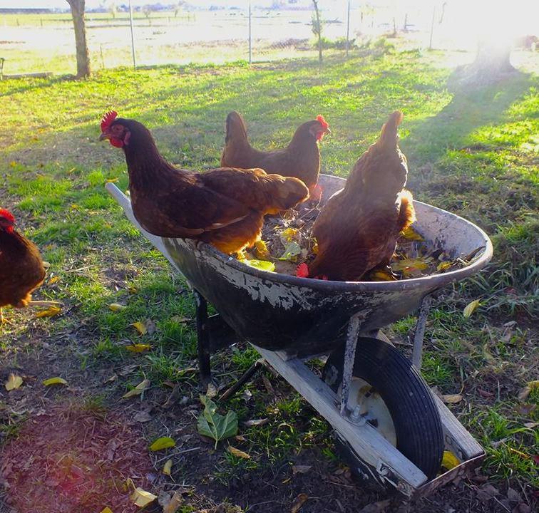 fall-hens