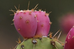 prickly-pear-120724
