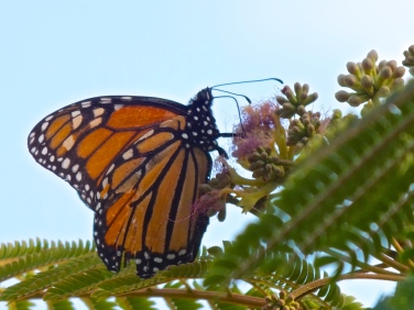 Monarch on mimosa