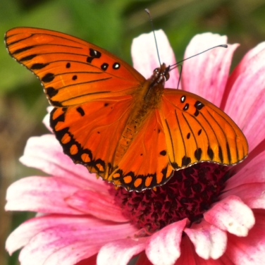 Fritillary butterfly...
