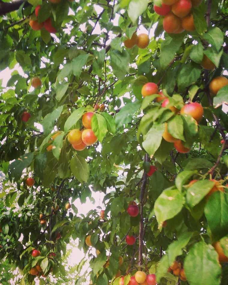cherry plum 2020